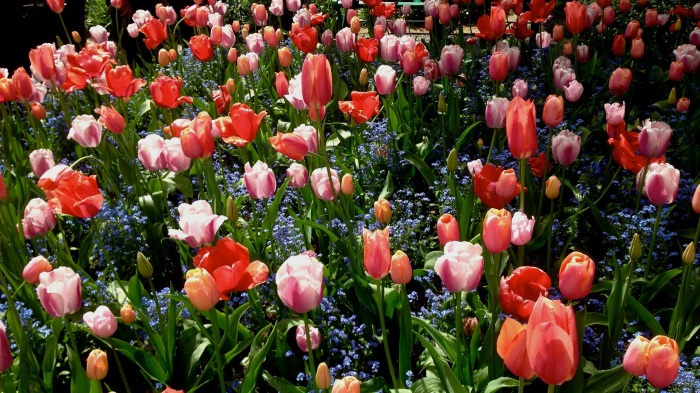 Tulips on Tulips