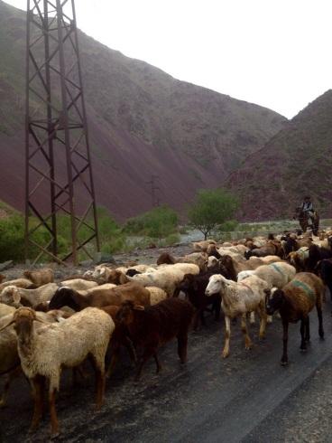 Sheep in the Kara-Balta Valley, walking north. Perhaps a sign?